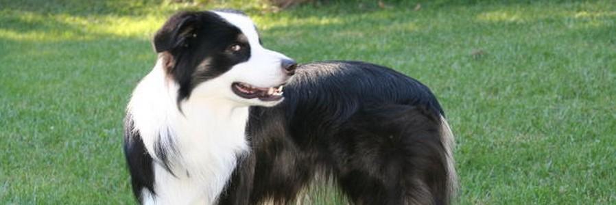 Australian Shepherd Namen