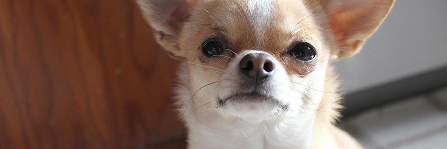 Chihuahua Namen